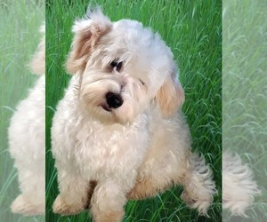 Mother of the Havanese puppies born on 08/23/2020