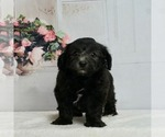 Small #2 Maltipoo-Poodle (Toy) Mix