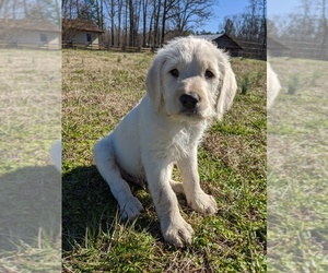 Labradoodle Puppy for Sale in BAHAMA, North Carolina USA