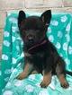 German Shepherd Dog Puppy For Sale in EAST EARL, PA
