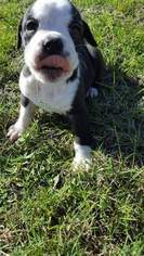 Olde English Bulldogge Puppy For Sale in KAPLAN, LA