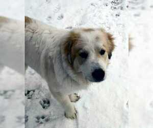 Great Pyrenees Dog for Adoption in DENVER, Colorado USA