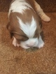 Cavalier King Charles Spaniel Puppy For Sale in FREDERICK, MD, USA