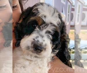 Springerdoodle Puppy for Sale in ANZA, California USA