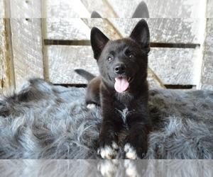 Pomsky Puppy for sale in HONEY BROOK, PA, USA