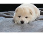 Shiba Inu Puppy For Sale in VIRGINIA BCH, VA, USA