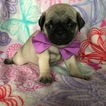 Pug Puppy For Sale in HONEY BROOK, PA, USA