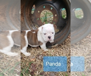 Bulldog Puppy for sale in GRIFFIN, GA, USA