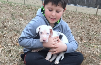 Great Dane Puppy For Sale in DECATUR, AL, USA