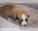 Puppy 1 Welsh Cardigan Corgi