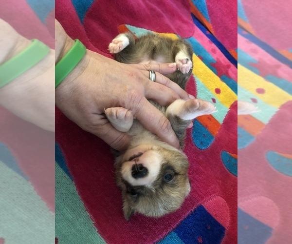 Medium Photo #7 Pembroke Welsh Corgi Puppy For Sale in RAMONA, OK, USA
