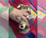 Small Photo #7 Pembroke Welsh Corgi Puppy For Sale in RAMONA, OK, USA