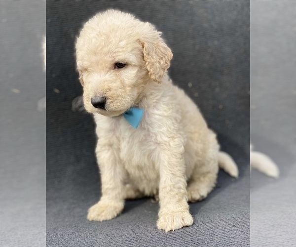 Medium Photo #3 Goldendoodle-Poodle (Standard) Mix Puppy For Sale in HANFORD, CA, USA