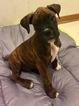 Boxer Puppy For Sale in GURNEE, IL,