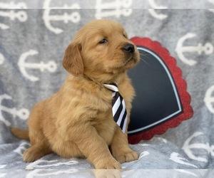 Golden Retriever Puppy for sale in CEDAR LANE, PA, USA