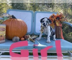 Great Dane Dog for Adoption in OPELOUSAS, Louisiana USA