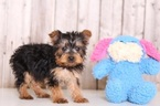 Lucky Male  Yorkie