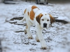 Saint Bernard Puppy For Sale in YPSILANTI, Michigan,