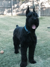 Schnauzer (Giant) Puppy For Sale in FORNEY, TX