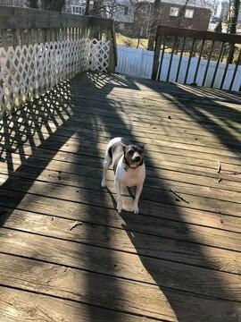 Medium Photo #9 Teddy Roosevelt Terrier Puppy For Sale in BELLEFONTE, DE, USA