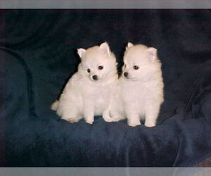 Pomeranian Puppy for sale in APPLE VALLEY, CA, USA