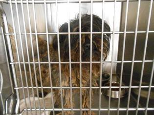 Cole Hill - Schnauzer / Poodle (Miniature) / Mixed Dog For Adoption
