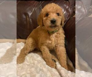 Labradoodle-Poodle (Standard) Mix Puppy for sale in HOLLYWOOD PARK, TX, USA
