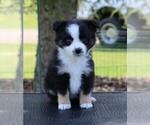 Puppy 1 Miniature American Shepherd