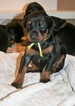 Doberman Pinscher Puppy For Sale in LOS ANGELES, CA, USA