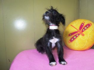 Poodle (Toy)-Yorkshire Terrier Mix Puppy for sale in PATERSON, NJ, USA
