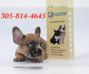 French Bulldog Puppy for sale in FISHER ISLAND, FL, USA