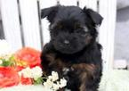 Shorkie Tzu Puppy For Sale in MOUNT JOY, PA, USA