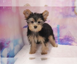 Yorkshire Terrier Dog for Adoption in LAS VEGAS, Nevada USA