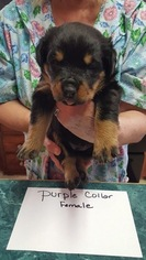 View Ad Rottweiler Puppy For Sale North Carolina Kings Mountain Usa