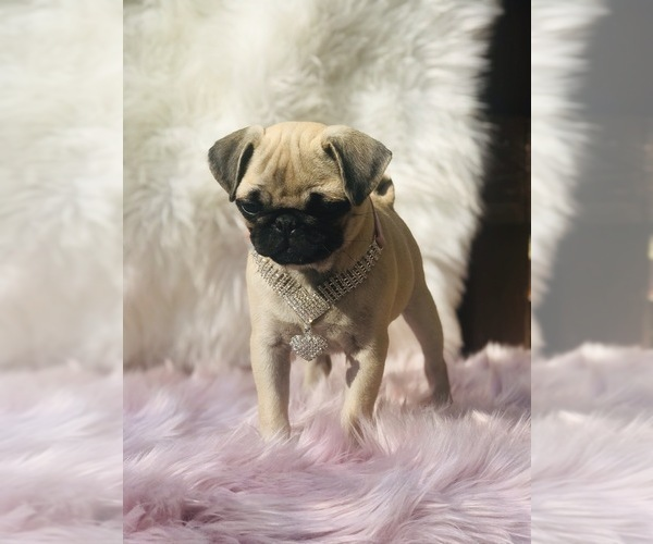 Medium Photo #7 Pug Puppy For Sale in CANTON, CT, USA