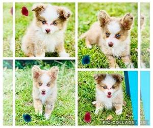 Australian Shepherd Puppy for sale in FORT SCOTT, KS, USA