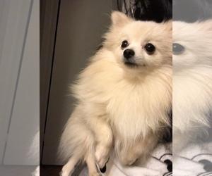 Pomeranian Puppy for sale in LITTLE FERRY, NJ, USA