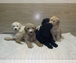 Small #8 Goldendoodle-Poodle (Standard) Mix
