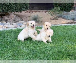 English Cream Golden Retriever Puppy for sale in LINDEN, CA, USA