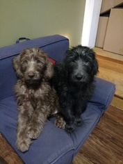 Labradoodle Puppy for sale in SUFFIELD, CT, USA