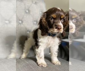 Cocker Spaniel Puppy for sale in NEWPORT BEACH, CA, USA