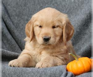 Golden Retriever Puppy for sale in NARVON, PA, USA
