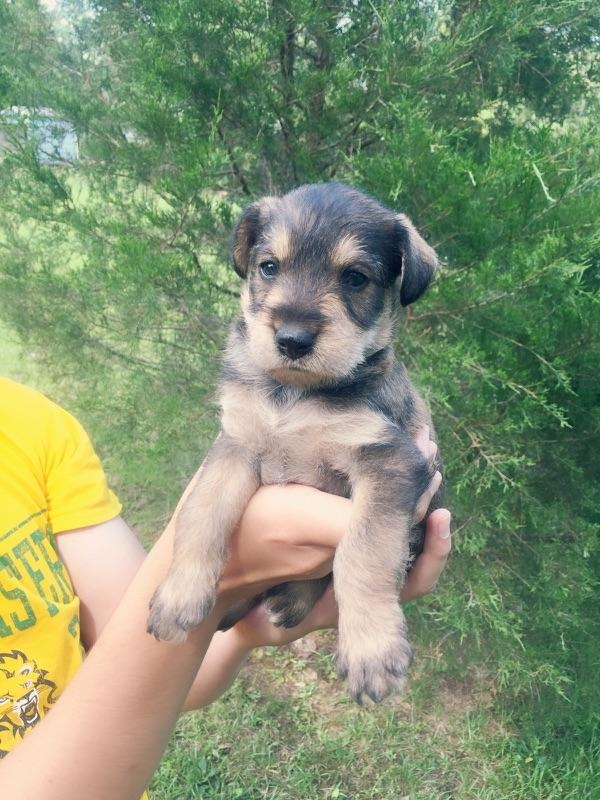 Teacup, Toy and Miniature Schnauzer Puppies for Sale