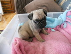 Pug Puppy For Sale in MARSHALL, WI