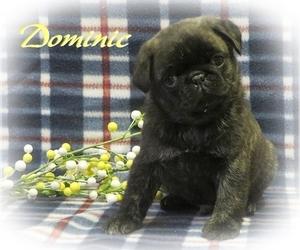 Pug Puppy for Sale in ELVERSON, Pennsylvania USA