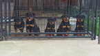 Rottweiler Puppy For Sale in ANTIOCH, CA, USA