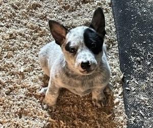 Australian Cattle Dog Puppy for Sale in MIDDLEBORO, Massachusetts USA
