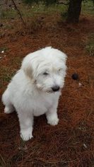 Pyredoodle Puppy For Sale in VERGENNES, IL