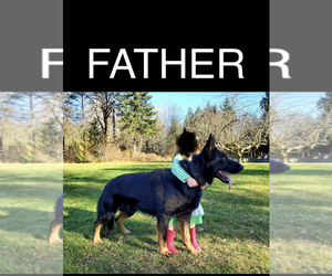 Father of the German Shepherd Dog puppies born on 03/20/2020