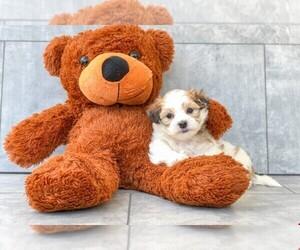 Zuchon Dog for Adoption in CLEVELAND, North Carolina USA